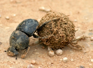 dung_beetle_copy1