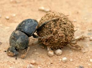 dung_beetle_copy1